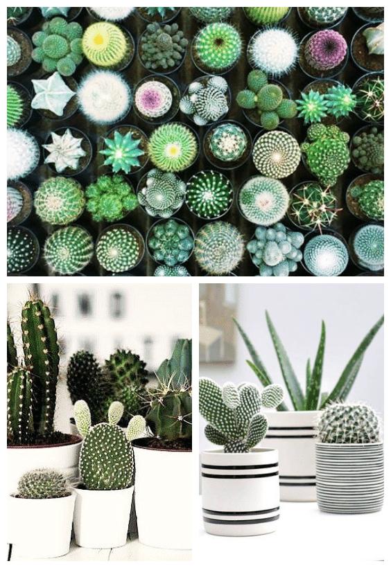 plantes d'intérieur cactus