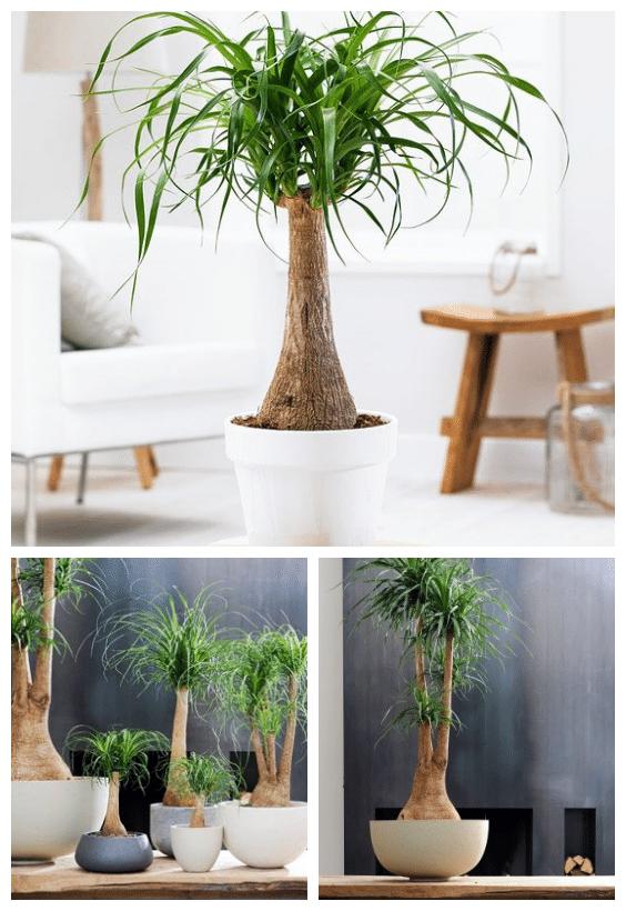 plantes d'intérieur Beaucarnéa