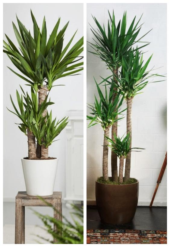 jardin d'intérieur yucca