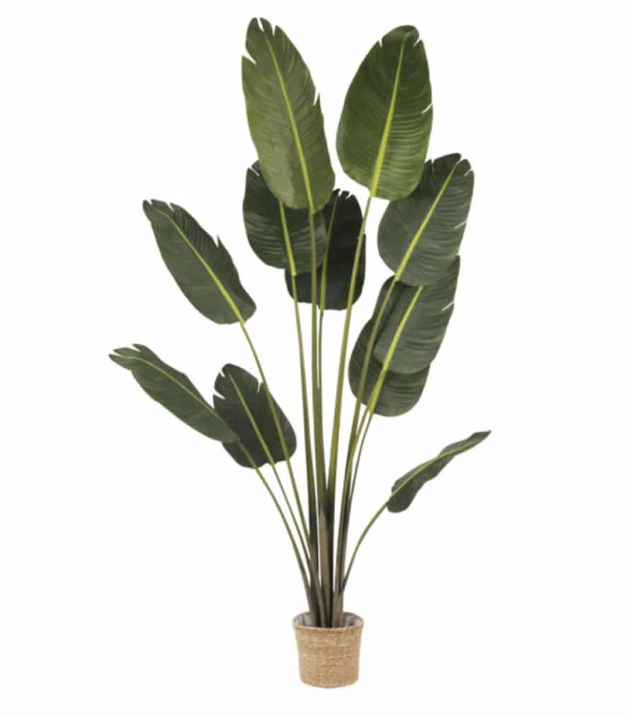 Plante RAVINALA SAKA