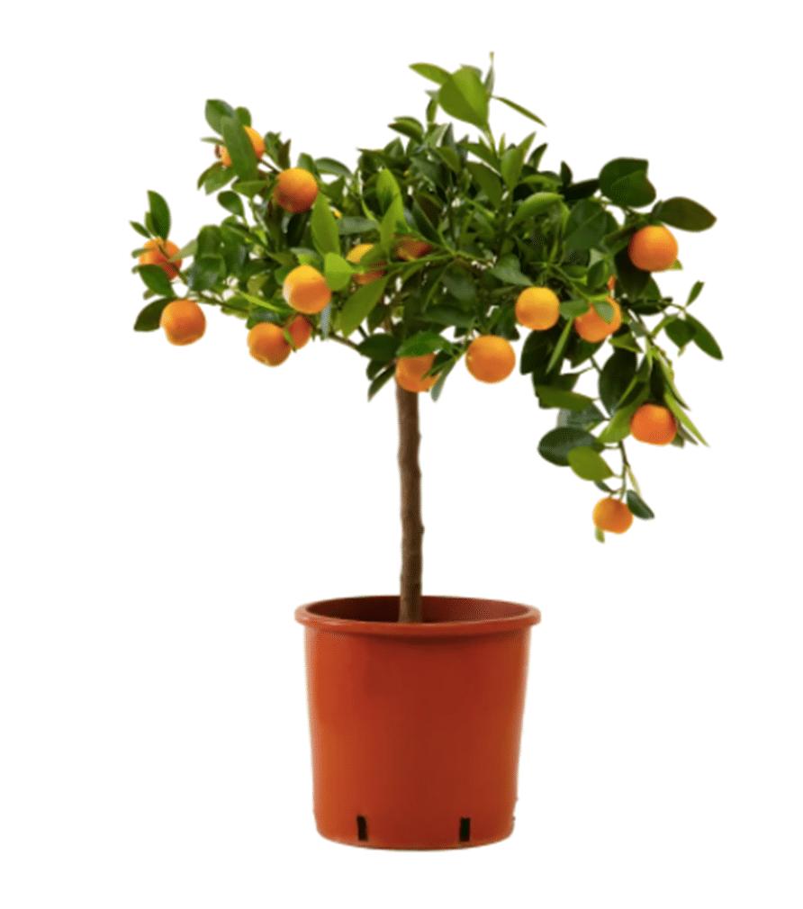 CALAMONDIN Oranger