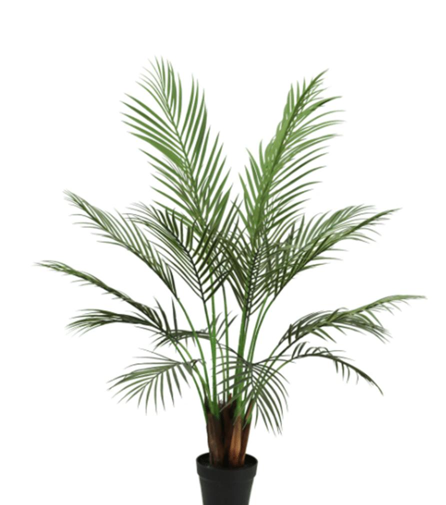 PLANTE TROPICALE Palmier