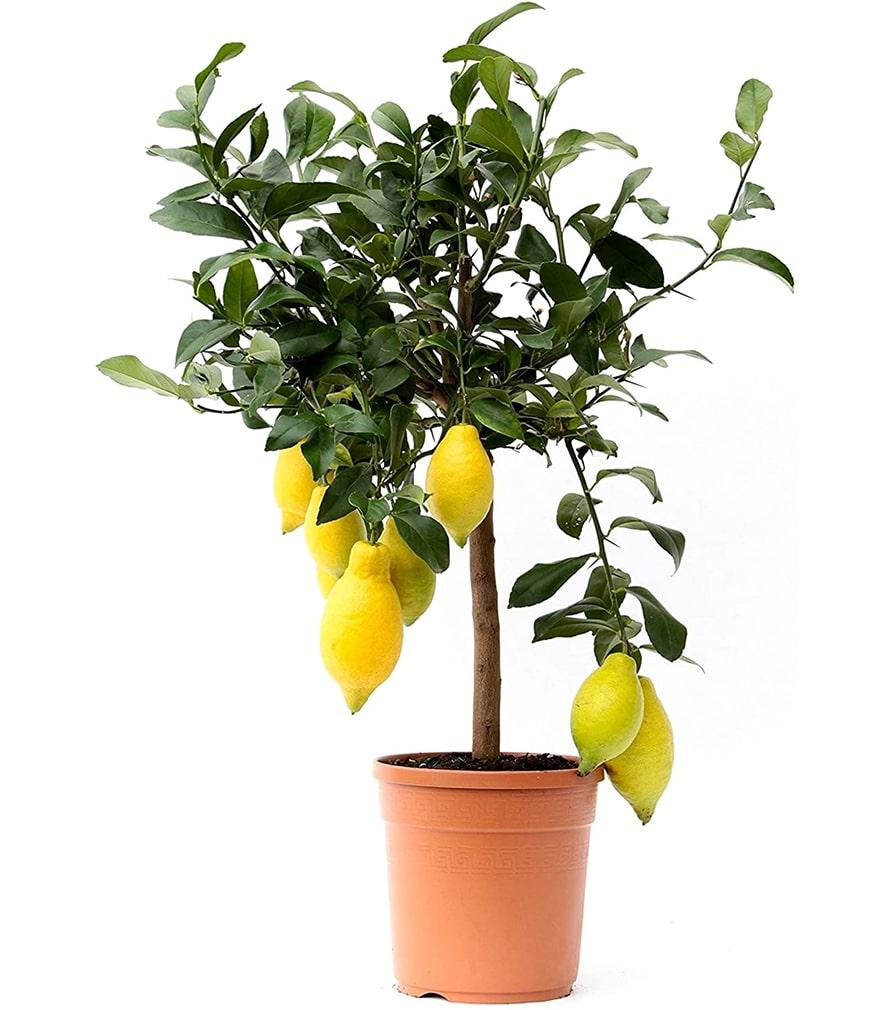 Plante d'intérieur et d'extérieur - Citronnier de 65 cm