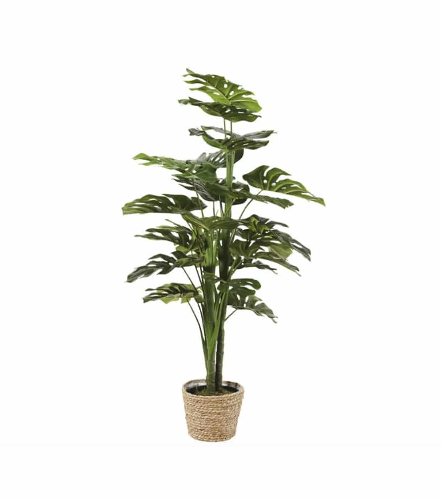 Plante MONSTERA